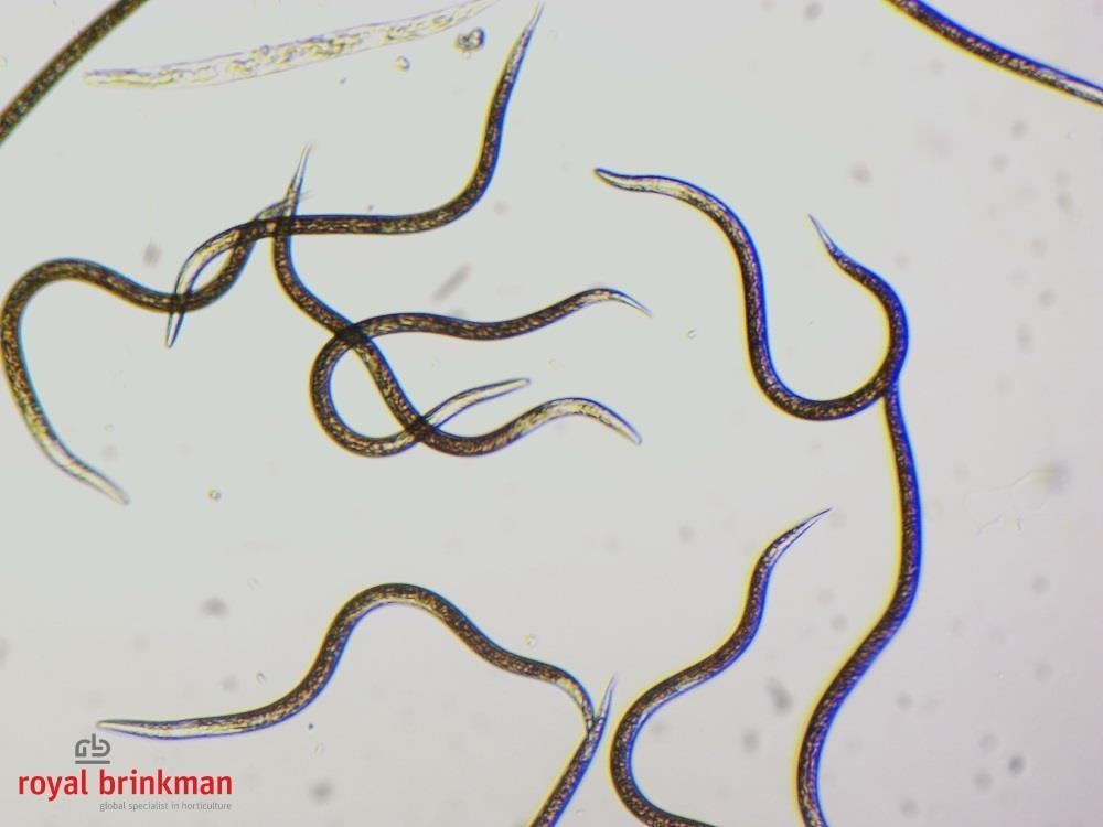 NEMAcontrol feltiae (gel) [250 miljoen] (RB)